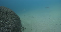 Dusky flathead ambush predator waiting on sand channel rock wall, Platycephalus Stock Footage