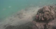 Zebra lionfish ambush predator waiting on sand channel rock wall, Dendrochirus Stock Footage