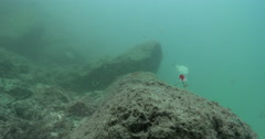 Busted off lure continues fishing as strong current makes it swim, bream come to Stock Footage