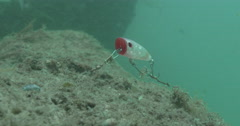 Busted off lure continues fishing as strong current makes it swim, bream come to - stock footage