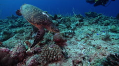Hawksbill turtle feeding on exposed seaward wall and plateau, Eretmochelys Stock Footage