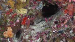 Randall's anthias swimming on seaward wall, Pseudanthias randalli, HD, UP32928 Stock Footage
