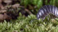 Pill woodlouse or pill bug (Armadilliidium sp.).  Stock Footage