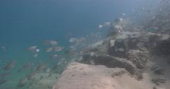 Yellowtail amberjack on sand channel rock wall, Diamondfish, 4K UltraHD, UP34797 Stock Footage