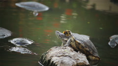 Turtle, Red-eared slider sunbathe on rock in pond, HD Stock Footage