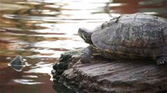 "turtle, Red-eared slider or ""Trachemys scripta elegans"" on rock in pond, HD - stock footage"