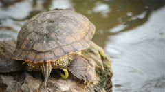 "Turtle, Red-eared slider or ""Trachemys scripta elegans"" close up the tail, HD Stock Footage"