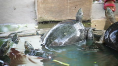 feeding turtle, science names Red-eared slider, panning shot in HD - stock footage
