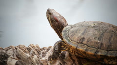 Turtle sicence names, Red-eared slider closeup head shot in HD Stock Footage