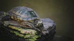 Turtle, Red-eared slider  sunbathe on rock in pond, HD Stock Footage