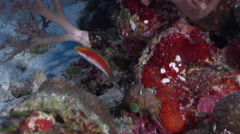 Katherine's wrasse hovering on semi-protected coral slope at dusk, Cirrhilabrus - stock footage