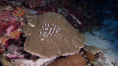 Unidentified boulder coral on semi-protected coral slope at dusk, Porites sp., Stock Footage