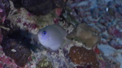Reid's damsel hovering on semi-protected coral slope at dusk, Pomacentrus reidi, - stock footage