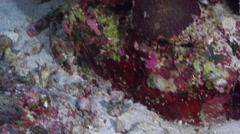 Twospot wrasse swimming on semi-protected coral slope at dusk, Halichoeres - stock footage
