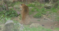Big Terrible Puma Sits on the Ground Stock Footage