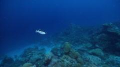 Clown triggerfish swimming in lagoon entrance channel, Balistoides conspicillum, Stock Footage