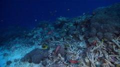 Clown triggerfish in lagoon entrance channel, Balistoides conspicillum, HD, Stock Footage