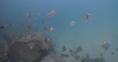 Intermediate Diamondfish feeding and schooling on river mouth rock wall, Stock Footage
