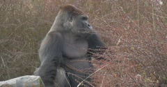 Black Gorilla Sits in Thickets of a Red Bush Stock Footage