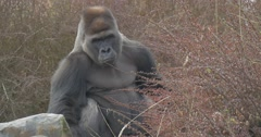 Black Shaggy Gorilla Approaches to a Red Bushes Stock Footage