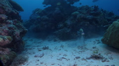 Many spotted sweetlips feeding in lagoon entrance channel, Plectorhinchus Stock Footage