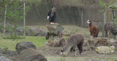 Day of Open Door Opole Zoo Lama Cubs Are Feeding Eating Hay Worker of the Zoo Stock Footage