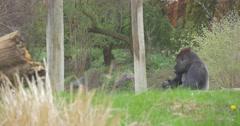 Sad Gorilla Tore Off the Stalk of Grass Land Stock Footage