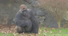 Visitor of a Zoo Has Thrown an Orange in Gorilla Stock Footage