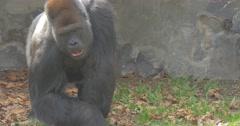 Sad Shaggy Gorilla Walks on a Glade Stock Footage