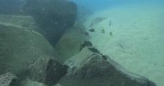 Juvenile Yellowfin surgeonfish feeding on river mouth rock wall, Acanthurus Stock Footage