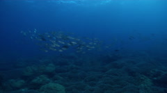 Bigeye scad fleeing and schooling in lagoon entrance channel, Selar Stock Footage