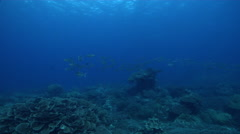 Bigeye scad swimming and schooling in lagoon entrance channel, Selar Stock Footage