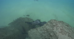 Humpback sweetlips swimming and schooling on river mouth rock wall, Stock Footage