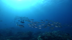 Grey reef shark swimming and schooling in lagoon entrance channel, Carcharhinus Stock Footage