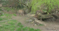 Puma Stops Near to a Tree to Mark the Territory Stock Footage