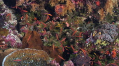 Bartlett's anthias hiding on seaward wall, Pseudanthias bartlettorum, HD, Stock Footage