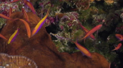 Bartlett's anthias behaving nervously on seaward wall, Pseudanthias Stock Footage