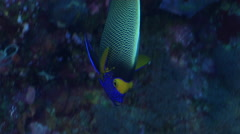 Yellow-mask angelfish swimming on seaward wall, Pomacanthus xanthometopon, HD, Stock Footage