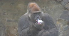 Gorilla Drinks Violet Juice From a Plastic Bottle Stock Footage