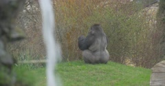 Brawny Black Gorilla Sits at Top of a Small Hill Stock Footage