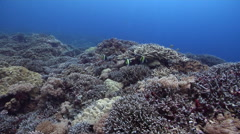 Ocean scenery healthy and diverse hard coral garden, surge, on protected seaward Stock Footage