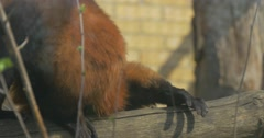 Red Monkey Searches For a Young Green Leaves Stock Footage