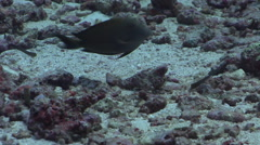 Pale-tail chromis nesting on rubble, Chromis xanthura, HD, UP33078 Stock Footage