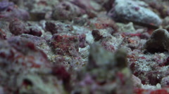 Undescribed dragonet feeding on rubble, Unidentified Species, HD, UP33081 Stock Footage