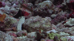 Undescribed dragonet on rubble, Unidentified Species, HD, UP33086 Stock Footage