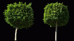 2 blowing on the wind trees isolated with alpha Stock Footage