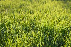 Fresh green grass on a lawn - stock photo