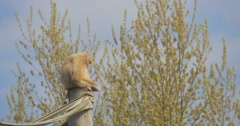 A Thin Yellow Monkey Sits on a Log Stock Footage