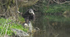 Black Long-Armed Monkey Sits on a River Bank Stock Footage
