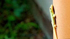 4K Gecko Basking in Sun on Wall, Sun Light Rays Flickering Stock Footage